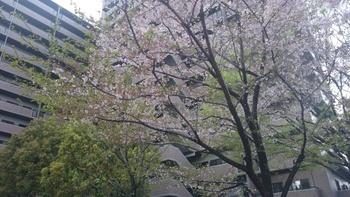 散り桜.JPG